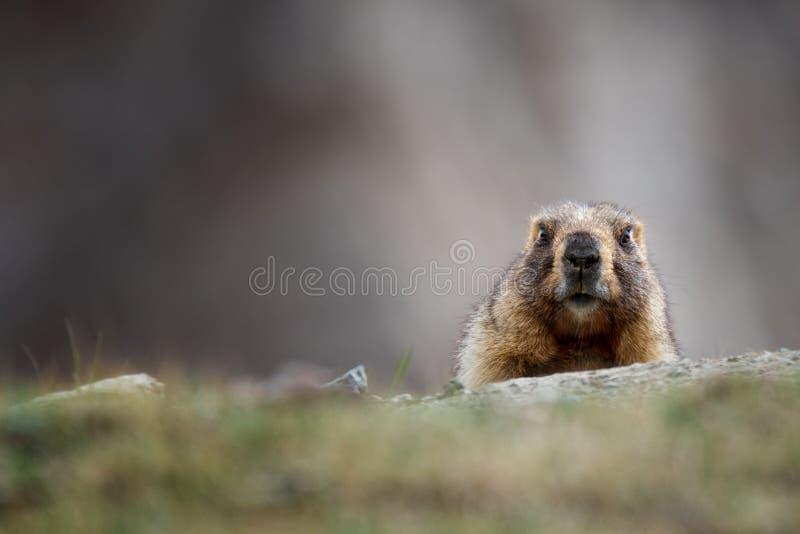 Nieuwsgierige Volwassen Bruine Alpiene Marmot Dichte Omhooggaand De Bosmarmot van Marmotamarmota in Centrale Aziatische Bergen Ba stock foto