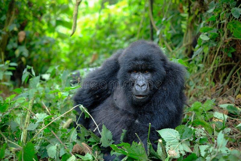 Nieuwsgierige vrouwelijke berggorilla die camera onderzoeken stock afbeeldingen