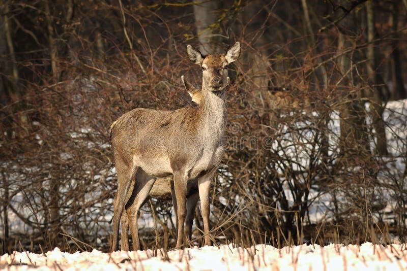 Nieuwsgierige vrouwelijke rode herten royalty-vrije stock foto's