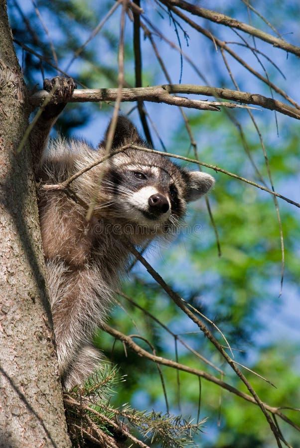 Nieuwsgierige Wasbeer royalty-vrije stock fotografie