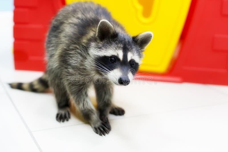 Nieuwsgierige wasbeer, een huisdier royalty-vrije stock foto