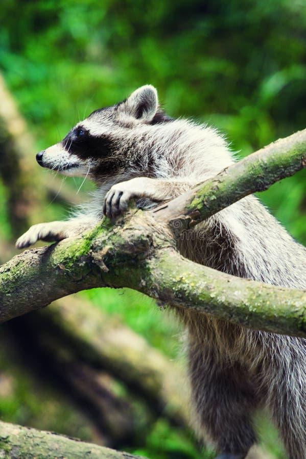Nieuwsgierige Wasbeer & x28; Procyon lotor& x29; , ook gekend als Noordamerikaanse wasbeer stock foto