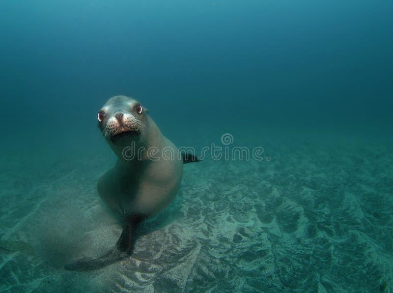 Nieuwsgierige Zeeleeuw royalty-vrije stock foto