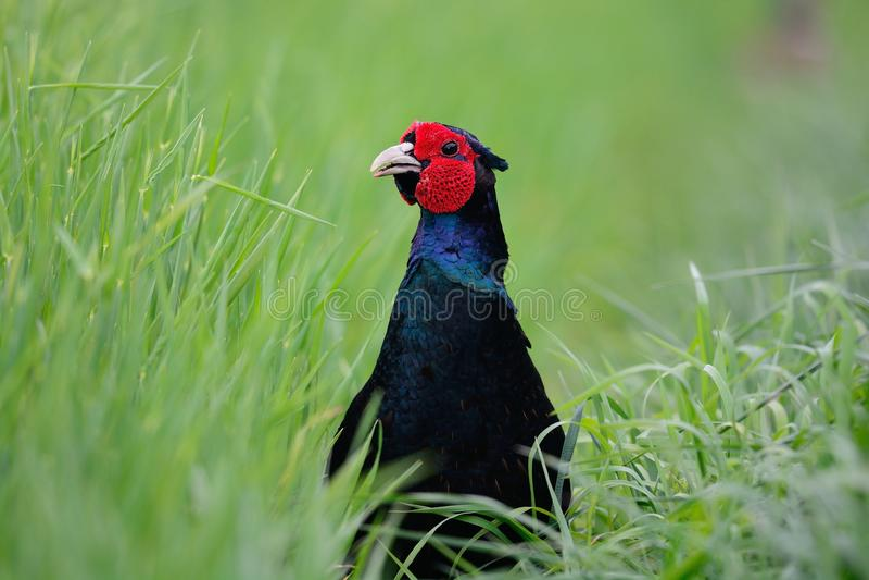 Nieuwsgierige zwarte fazant royalty-vrije stock afbeelding