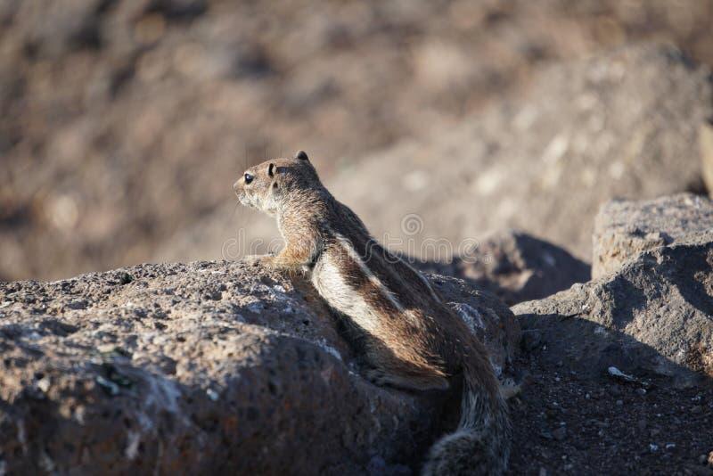 nieuwsgierigheid De aardeekhoorn onderzoekt zorgvuldig de hellingen van de bergstroom royalty-vrije stock foto's