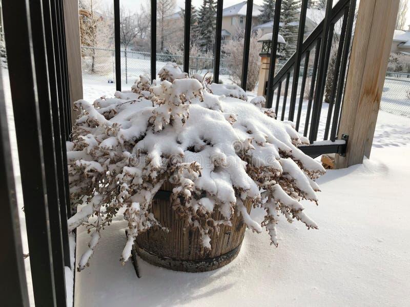 Nieve blanca sobre la planta fotografía de archivo