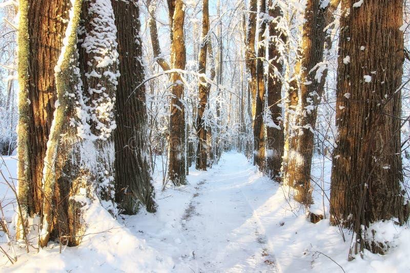 Nieve de la luz del sol del paisaje del bosque del invierno imagen de archivo libre de regalías