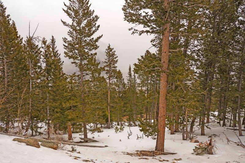Nieve de la primavera entre los pinos en las montañas foto de archivo libre de regalías
