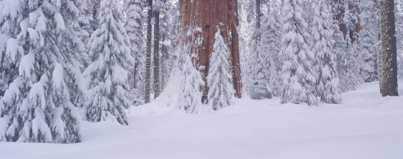 Nieve del invierno en el bosque gigante, fotografía de archivo libre de regalías