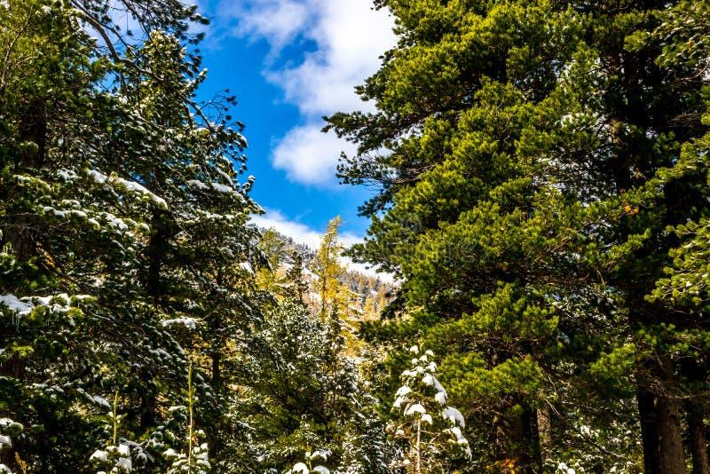 Nieve en bosque conífero imágenes de archivo libres de regalías