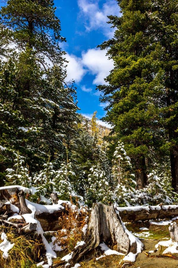 Nieve en bosque conífero foto de archivo