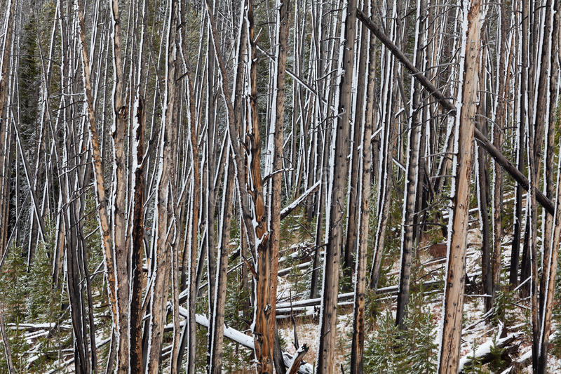 Nieve en bosque quemado fotografía de archivo libre de regalías