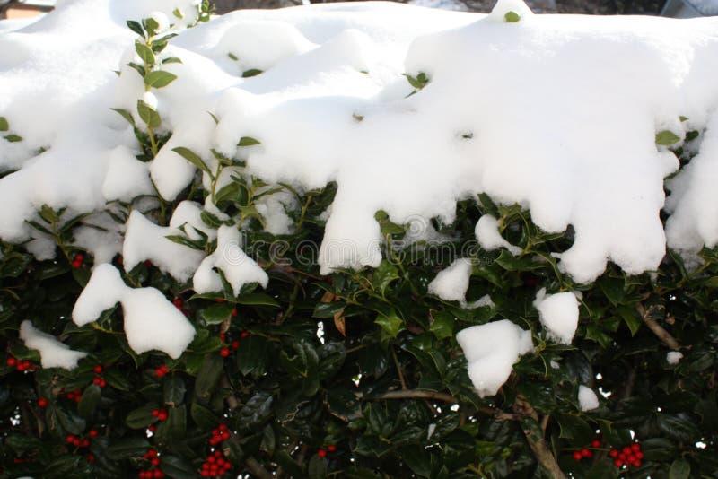 Nieve en el enebro Bush imagen de archivo