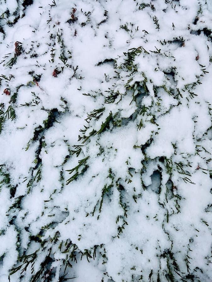 Nieve en el seto fotos de archivo