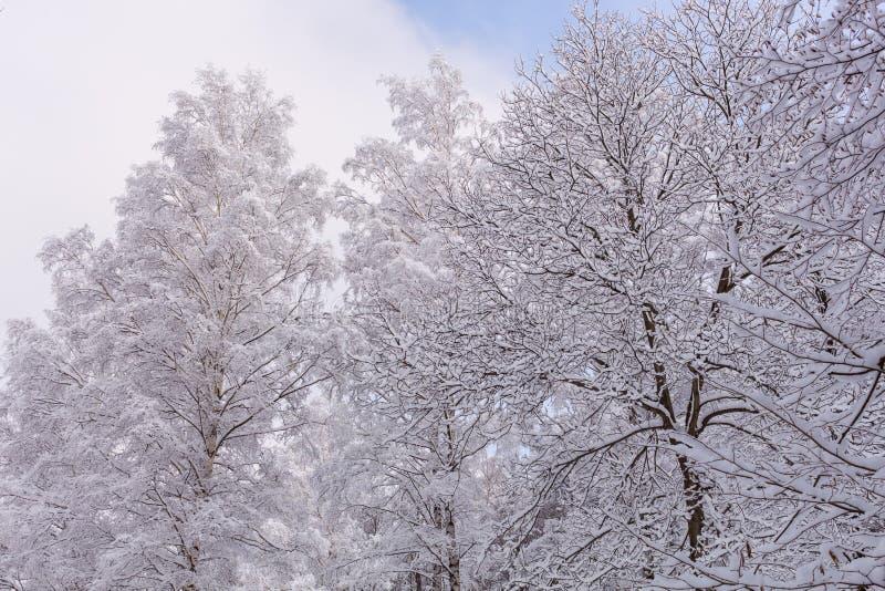 Nieve en las ramas de árbol Opinión del invierno de los árboles cubiertos con nieve La severidad de las ramas debajo de la nieve fotografía de archivo