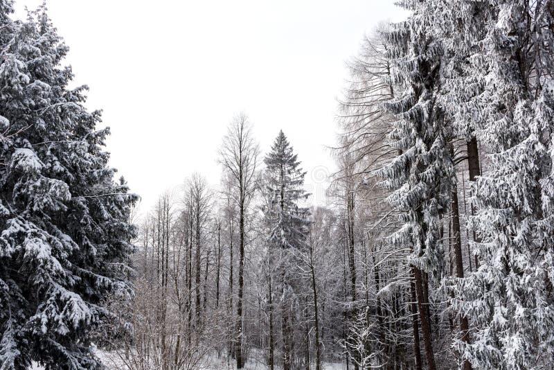 Nieve en las ramas de árbol Opinión del invierno de los árboles cubiertos con nieve La severidad de las ramas debajo de la nieve fotografía de archivo libre de regalías