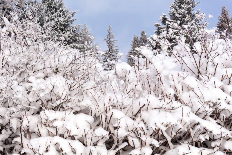 Nieve en las ramas de árbol Opinión del invierno de los árboles cubiertos con nieve La severidad de las ramas debajo de la nieve fotos de archivo
