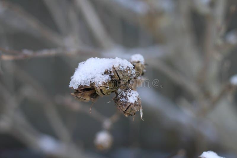 Nieve en ramas y fruta muerta imagenes de archivo