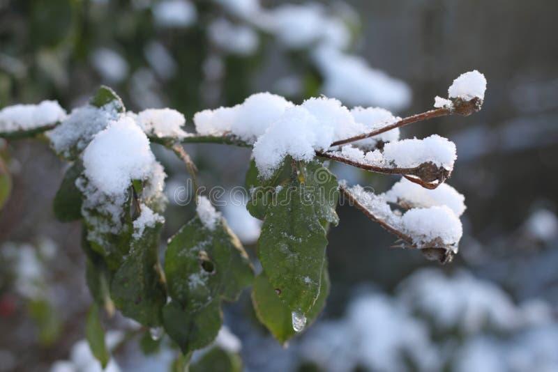 Nieve en ramas y hojas imagenes de archivo