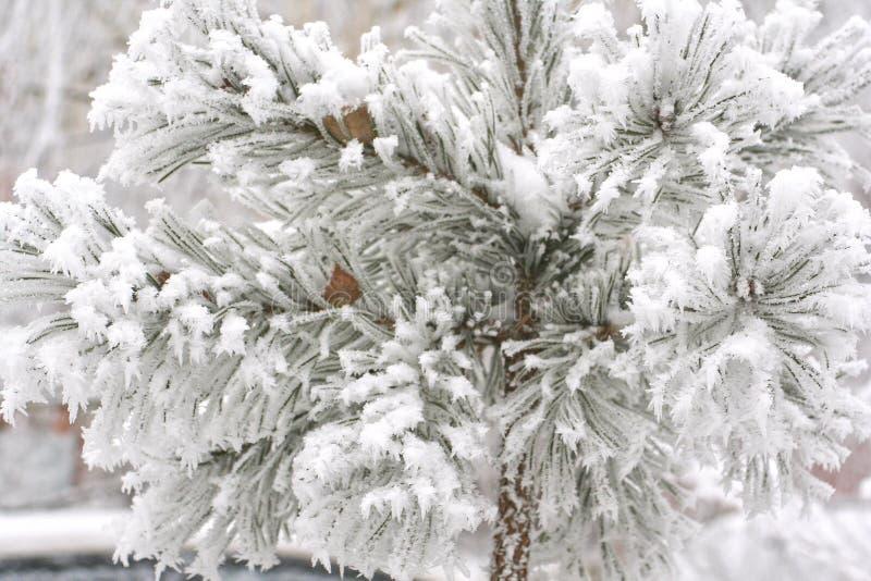Nieve en un pino-árbol fotografía de archivo