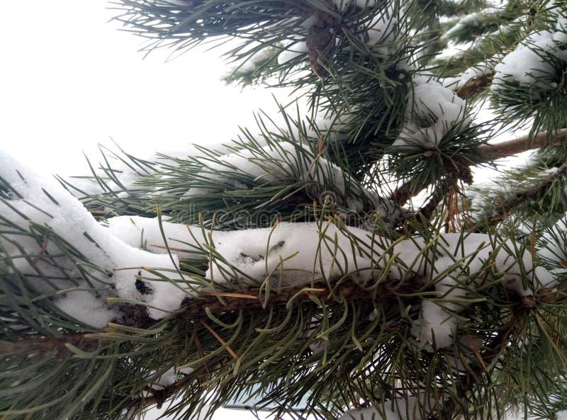 Nieve en un ?rbol de pino foto de archivo