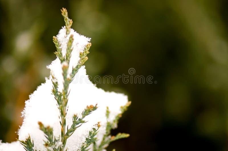 Nieve fresca en la ramificación del pino fotos de archivo