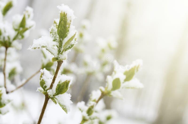 Nieve inesperada en abril Rama de la lila con las hojas jovenes del verde cubiertas por la nieve de la primavera imagenes de archivo
