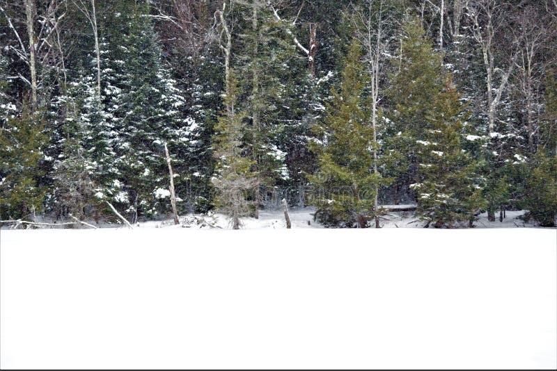 Nieve invernal en los bosques de las grandes coníferas foto de archivo