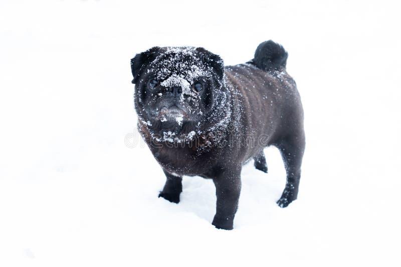 Nieve linda divertida del invierno del perro del pub del negro lindo de la raza imagenes de archivo