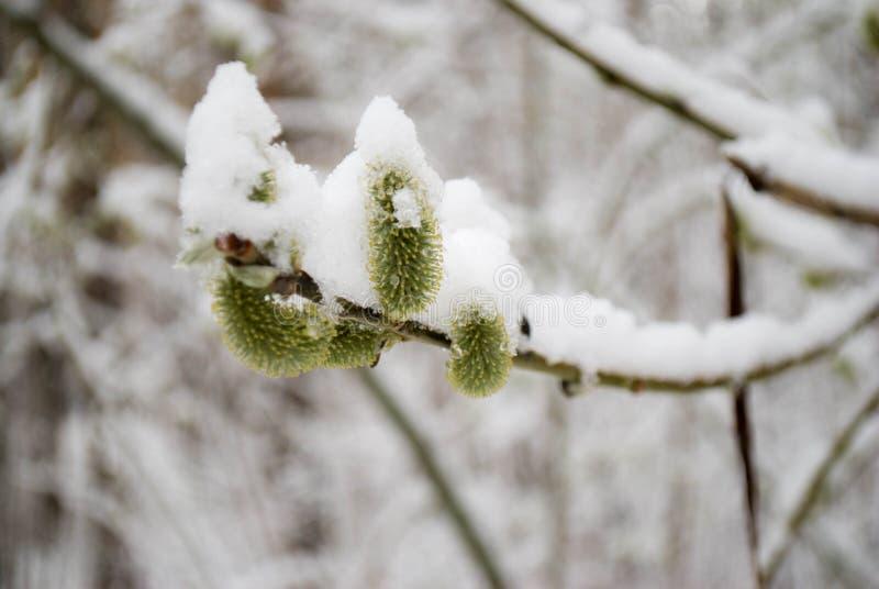 Nieve pegajosa en ramas fotos de archivo libres de regalías