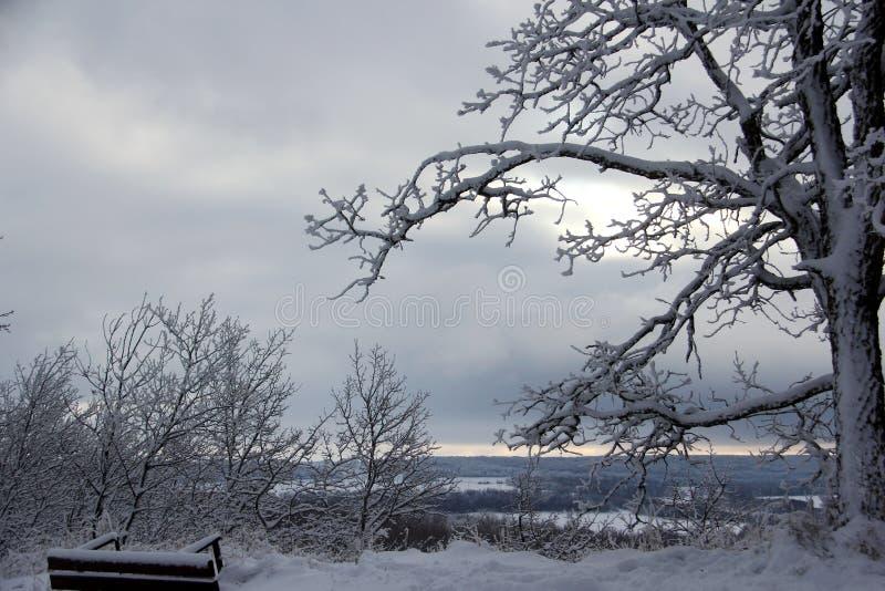 Nieve que se aferra en un roble en cielo nublado del invierno del invierno fotos de archivo libres de regalías