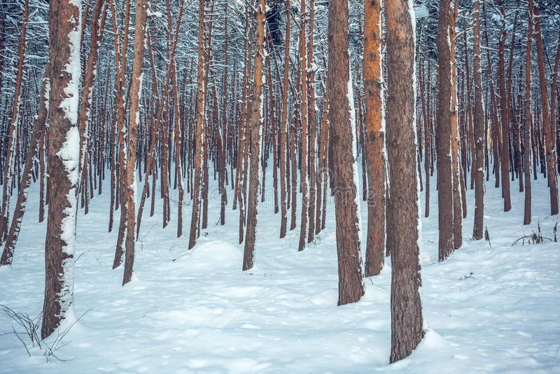 Nieve sobre las piceas y los pinos foto de archivo