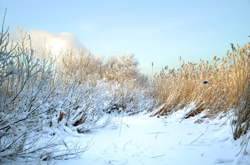 Nieve y cañas en el pantano en invierno foto de archivo libre de regalías