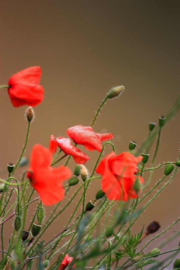 Niewiele czerwonych maków w zielonej trawie obrazy stock