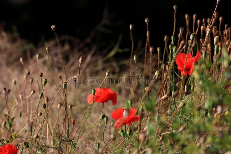 Niewiele czerwonych maków w zielonej trawie zdjęcia royalty free