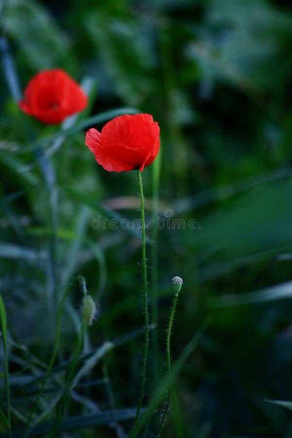 Niewiele czerwonych maków w zielonej trawie obrazy royalty free
