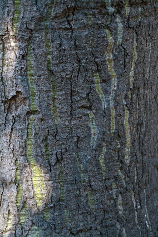 Niewygładzona drzewna barkentyna z zielonymi rozciągliwość ocenami obrazy royalty free