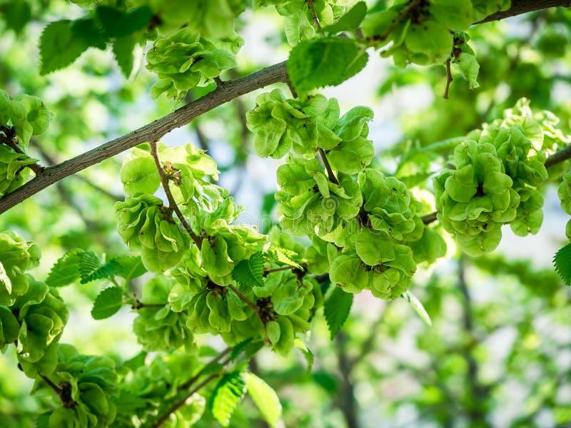 Niewyrobiona zielona owoc wiąz na gałąź z liśćmi fotografia royalty free