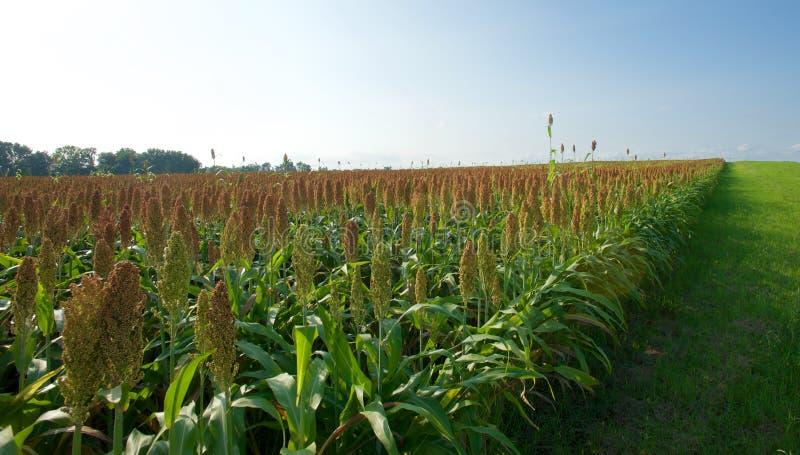 Niewyrobione kukurydzane rośliny fotografia royalty free