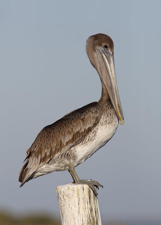 Niewyrobiony Brown pelikan Umieszczający na doku palowaniu - Floryda zdjęcia royalty free