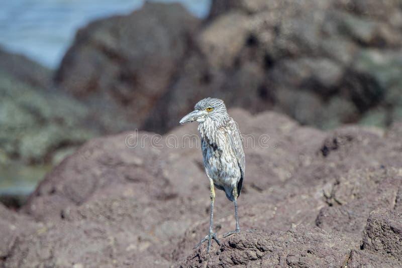 Niewyrobiony Koronujący czapli Nyctanassa violacea Umieszczał na Skalistej plaży obraz stock