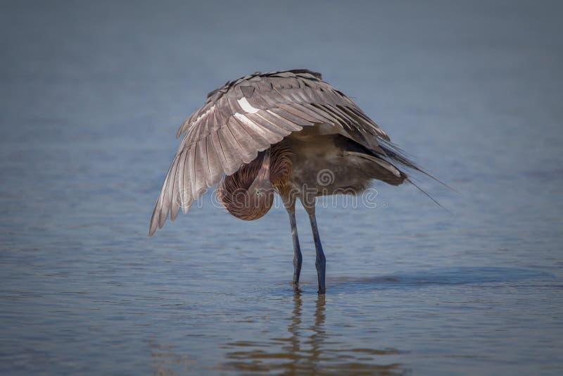 Niewyrobiony, młody czerwonawy egret, obraz royalty free