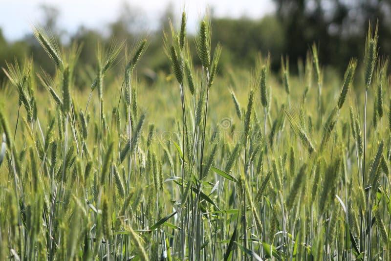 Niewyrobiony pszeniczny pole w wiosce zdjęcia royalty free