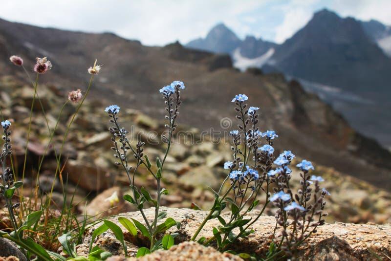 Niezapominajkowy kwiat zdjęcie stock