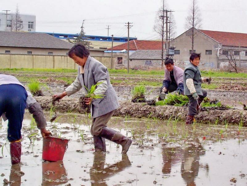 Niezidentyfikowane kobiety zasadzają ryż ręką w zalewającym ryżowym irlandczyku obrazy stock