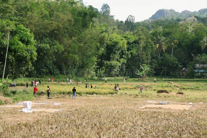 Niezidentyfikowani ludzie pracuje w ryżowych polach obraz royalty free