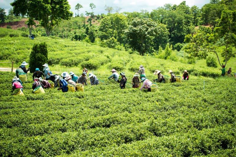 Niezidentyfikowani pracownicy zbierają herbacianych liście przy Chiangrai prov obrazy royalty free
