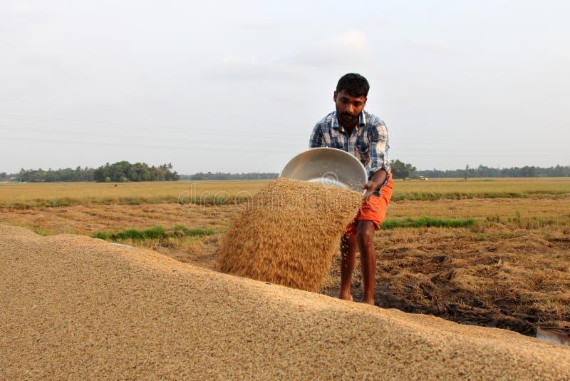 Niezidentyfikowany rolnik angażuje w postharvest pracach w ryżowych polach zdjęcie stock