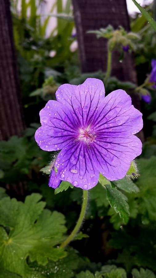 Nieznacznie mokry purpurowy Ashy Cranesbill obraz stock