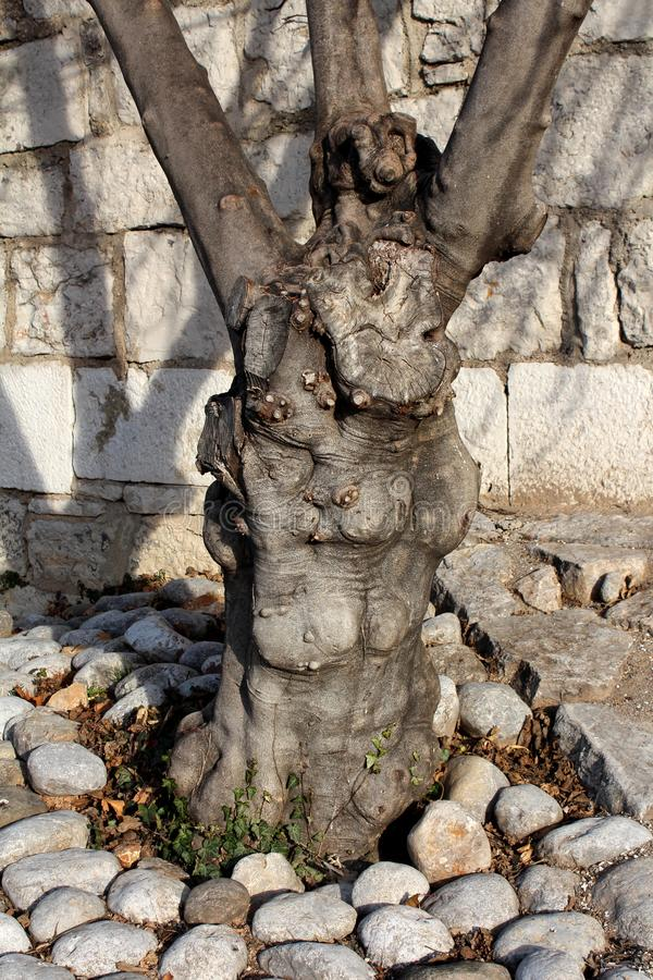 Niezwykły dziwnie szpotawy drzewny bagażnik stary wysoki drzewo otaczający z ziemią zakrywającą z skałami z powrotem na tradycyjn fotografia stock